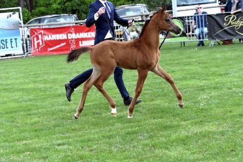 2017 Arabian Horse Weekend Sint-Oedenrode - photo by Jan Kan