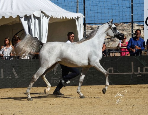 2017 Mediterranean and Arab Countries Arabian Horse Championship - Mozn Albidayer - photo by Jan Kan