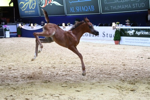 2017 Arabian Futurity Europe Cup - photo Jan Kan - Sheikja