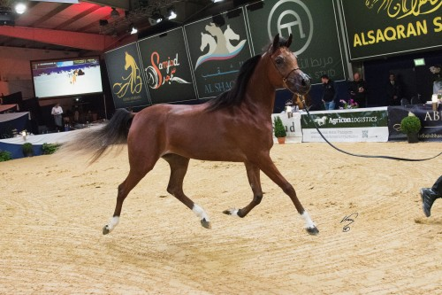 2017 German National Arabian Horse Championship - photo Jan Kan - Bourhani Fadissima