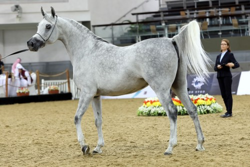 20th Qatar National Purebred Arabian Horse Show - photo by Fajar Sadiq