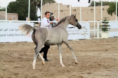2017 Fujairah Arabian Horse Show - photo by Eric Blaak