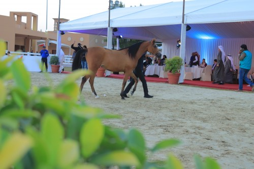 2018 2nd International Arabian Horse Show - photo by Mahmood Nasser