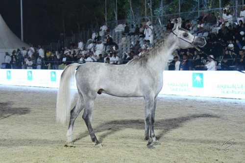 Helal Al Fala - Unanimous Gold Champion Junior Colt - photo by Jan Kan