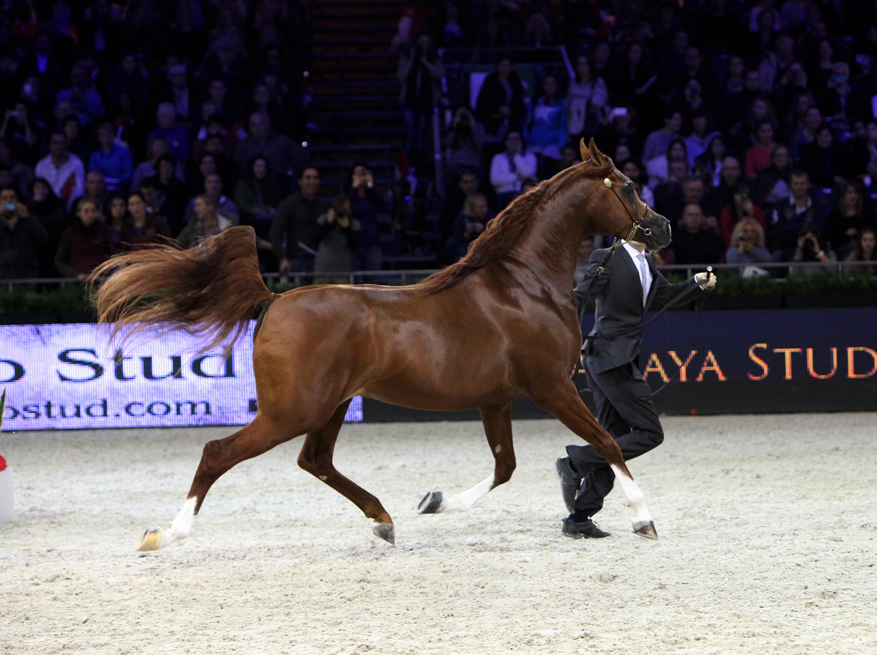 World Arabian Horse Championship | ArabianHorseResults.com - photo#43