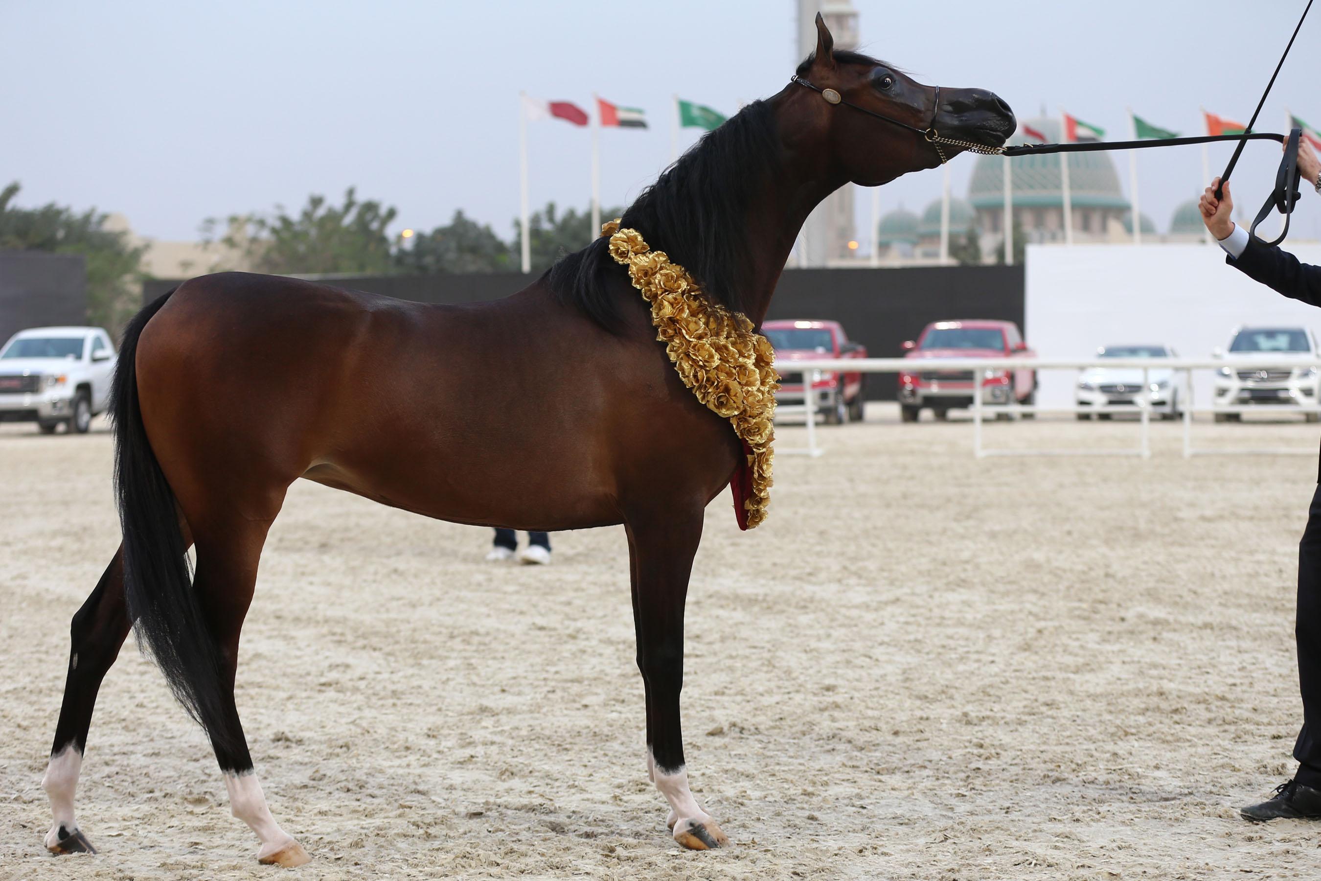 Qatar - International Arabian Horse Show ... - photo#44